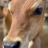 Grados de deshidratación en bovinos