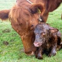 Signos que tu vaca, va a parir