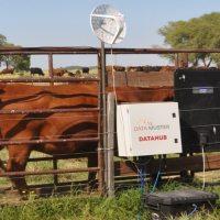 Desarrollan una balanza inteligente que permite saber en tiempo real qué ocurre con las vacas